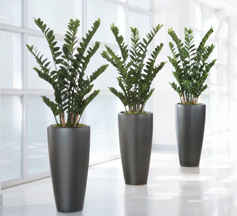 Замиокулькас: что за растение и почему так популярен